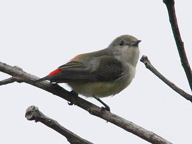 セアカハナドリ(2)