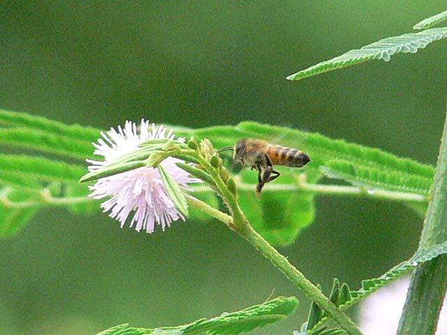 オジギソウの花とミツバチ(1)