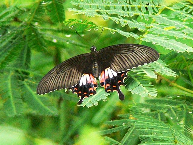 美しい黒いアゲハ?(2)