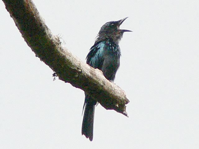 別の真っ黒な野鳥(2)