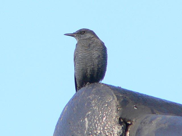 チェンライの野鳥(2)