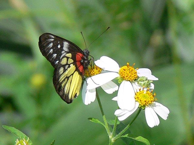 黒・赤・黄色の美しい蝶