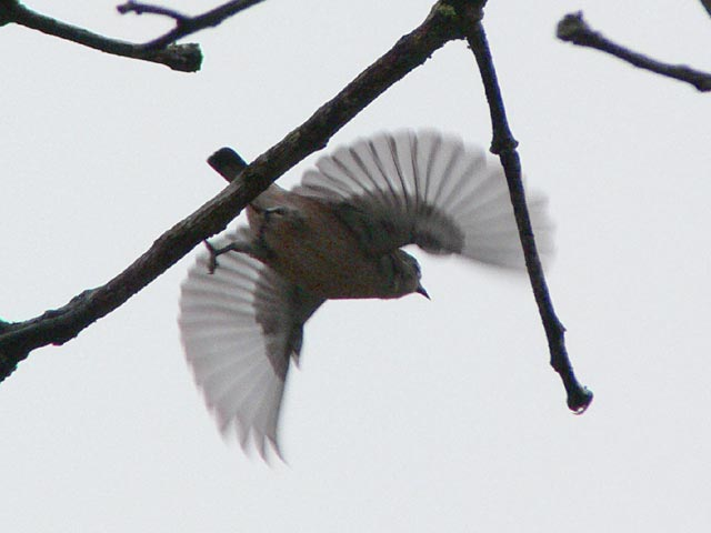 羽を満開に広げたセアカハナドリ