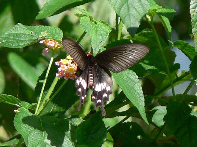 チェンライの黒い蝶