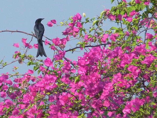 ブーゲンビリアの花とオウチュウ