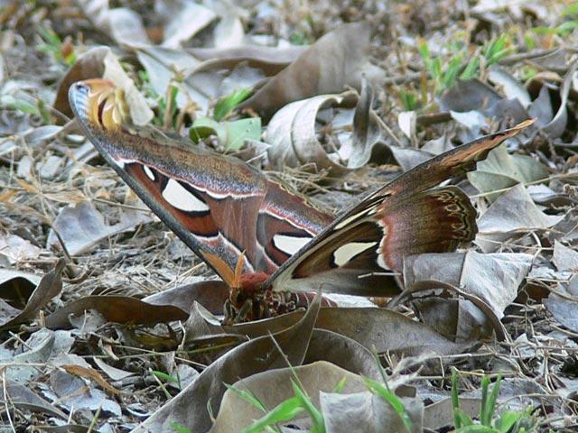 美しい大型の蝶