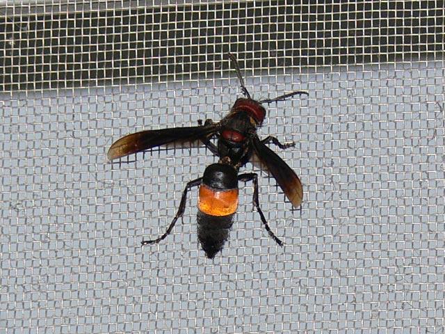 恐ろしそうなハチです