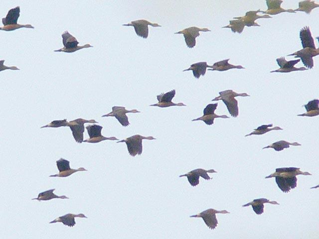 渡り鳥の群れ?