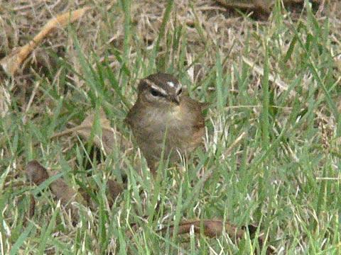 頭に斑のある野鳥です(1)
