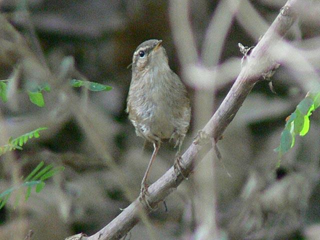 Warblerの一種でしょうけれど(1)