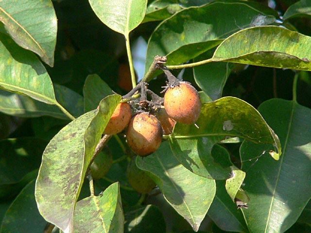 コウラウンの好きな赤い木の実