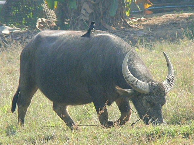 水牛とオウチュウ(1)
