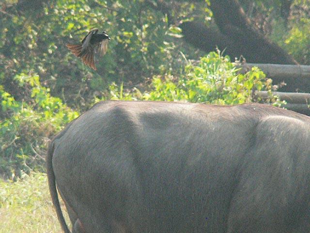 水牛とオウチュウ(2)