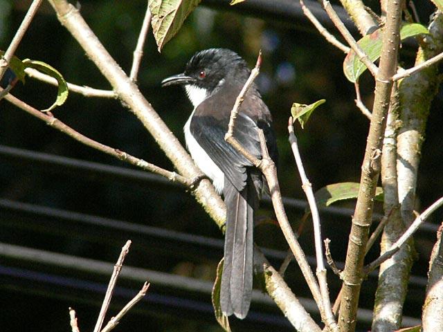 Dark-backed Sibia(シロクロウタイチメドリ)