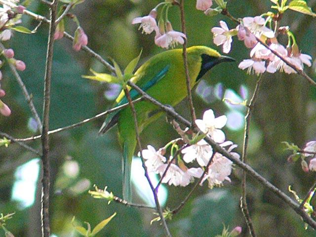 Blue-winged Leafbird(アオバネコノハドリ)