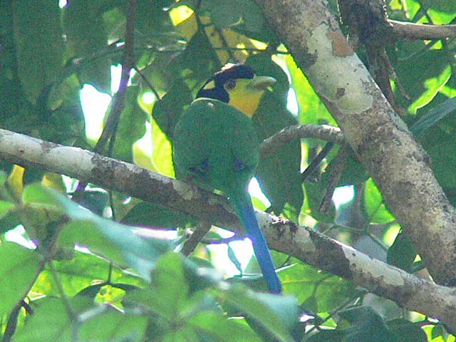 Long-tailed Broadbill(オナガヒロハシ)