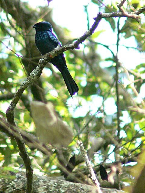 Lesser Racket-tailed rongo(ヒメカザリオウチュウ)
