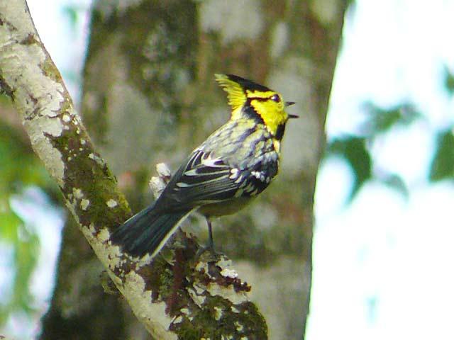 Yellow-cheeked Tit(セボシカンムリガラ)(1)