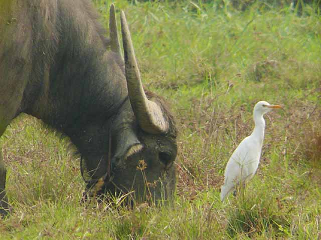 アマサギ(Cattle Egret)(1)