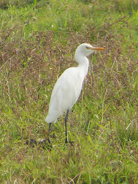 アマサギ(Cattle Egret)(2)