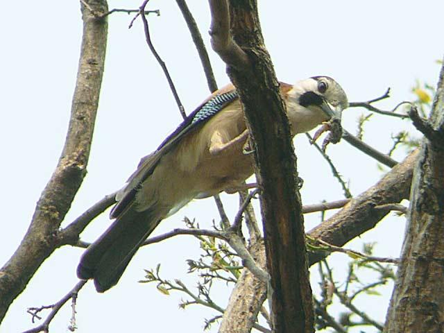 Eurasian Jay (カケス)