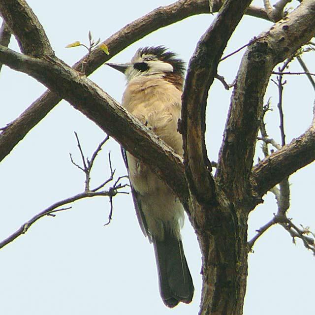 Eurasian Jay (カケス)(2)