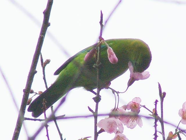 アカハラコノハドリ(若鳥)