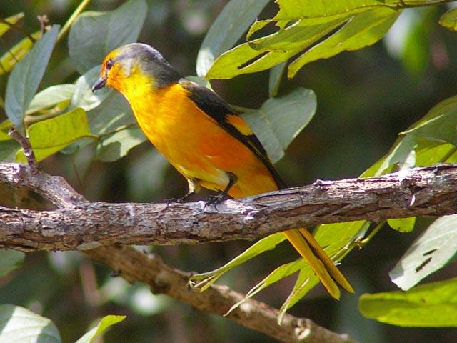 オレンジ色のサンショウクイ