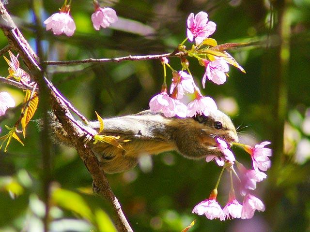 サクラの花を食べるリス