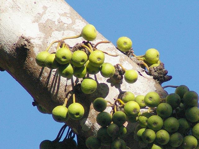 イチジクのような実が幹から直接生えています