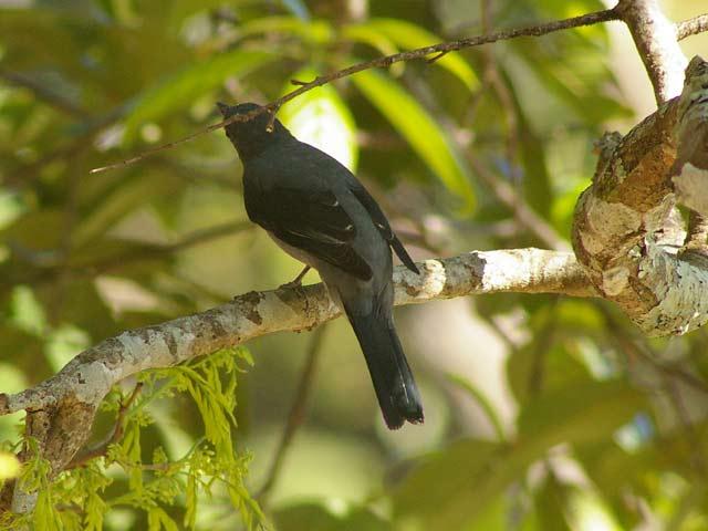 Black-winged Cuckooshrike(アサクラサンショウクイ)