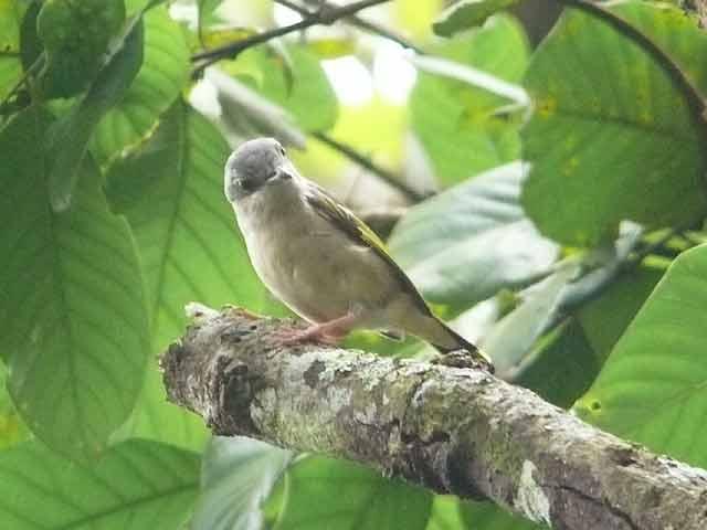 アカバネモズチメドリ(2)