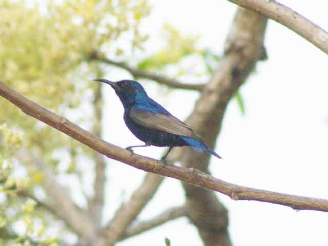 Purple Sunbird(ムラサキタイヨウチョウ)