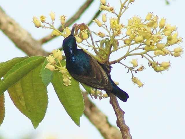 Purple Sunbird(ムラサキタイヨウチョウ)(2)