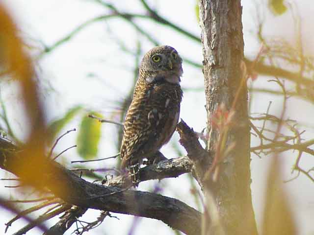 Asian Barred Owlet(オオスズメフクロウ)