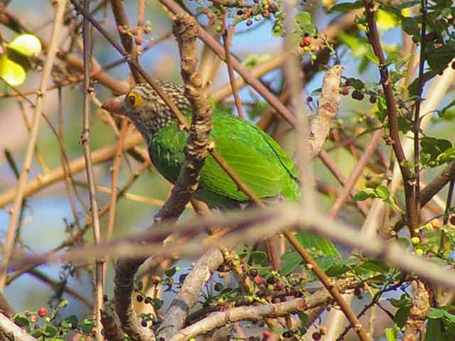 Lineated Barbet(シロボシオオゴシキドリ)