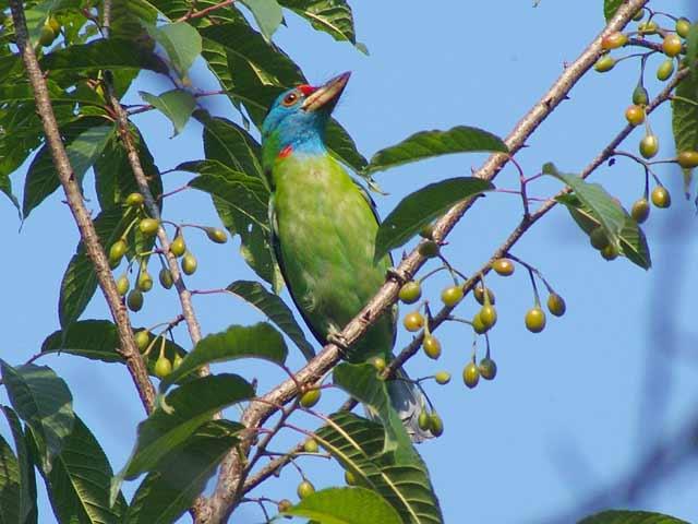 Blue-throated Barbet (アオノドゴシキドリ)