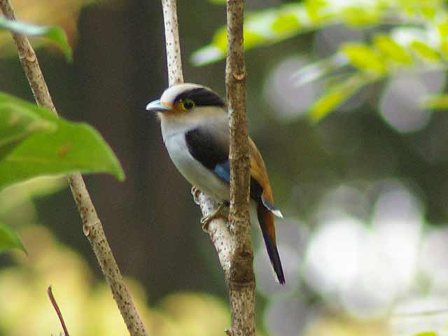 ギンムネヒロハシ(Silver-breasted Broadbill)
