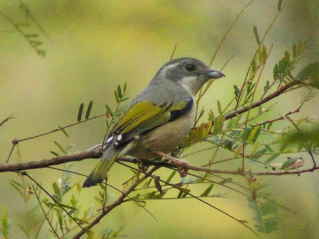 アカバネモズチメドリ(White-browed Shrike Babbler)
