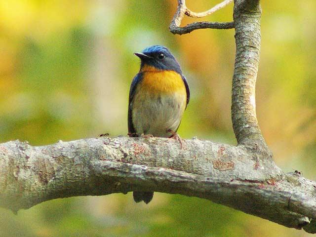 Hill Blue Flycatcher(ミヤマヒメアオヒタキ)♂