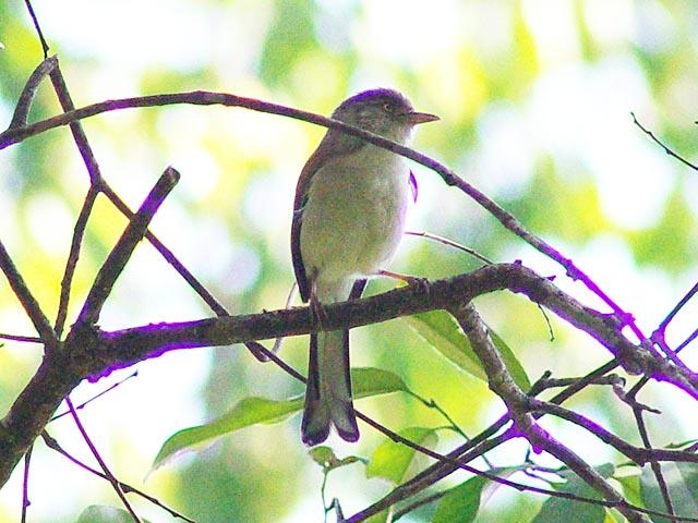 未だに名前の分からない野鳥です(2)