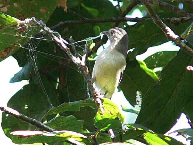 未だに名前の分からない野鳥です(3)