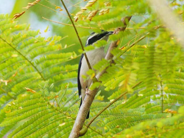 White-browed Shrike Babblerアカバネモズチメドリ(♂)