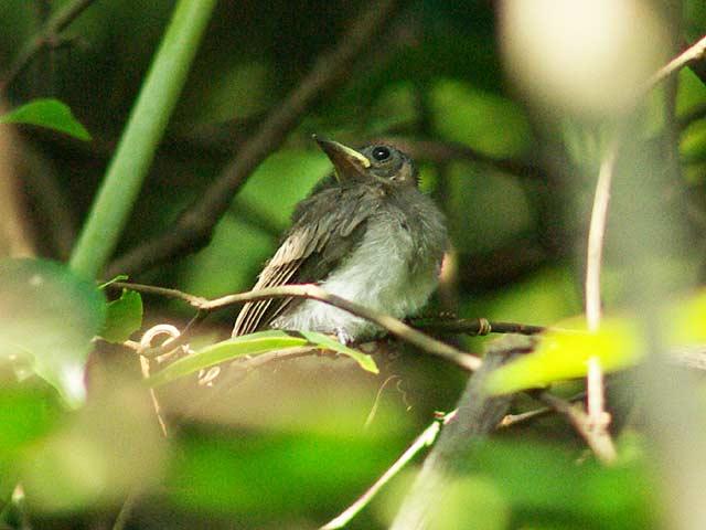 正体不明の幼鳥