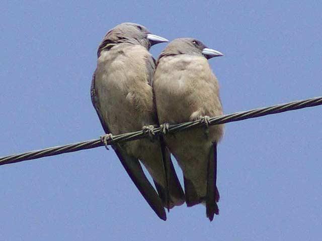 Ashy Wood-swallow(ハイイロモリツバメ)