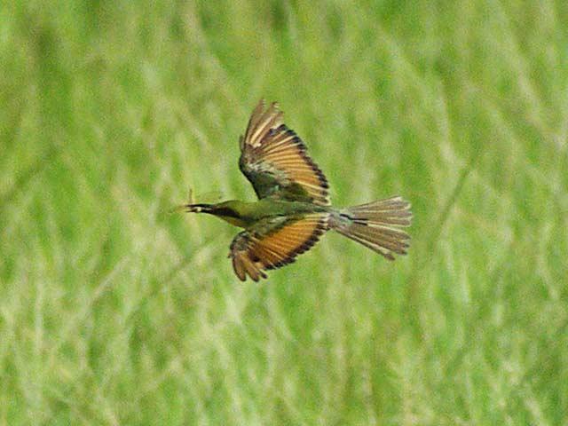 ミドリハチクイの飛行と狩り