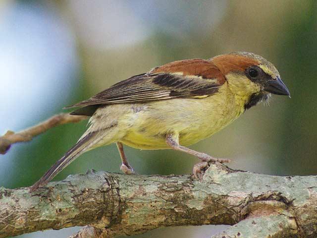 セアカスズメ(Plain-backed Sparrow)が撮れました