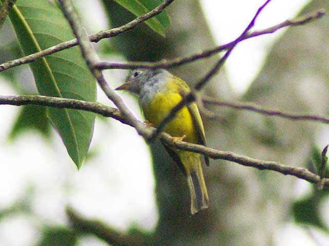 ハイムネヒタキ(Grey-headed Canary Flycatcher)