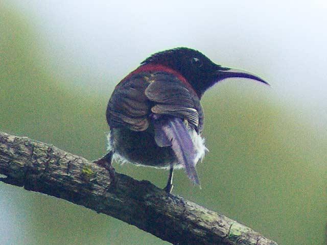 Black-throated Sunbird(ムナグロタイヨウチョウ)