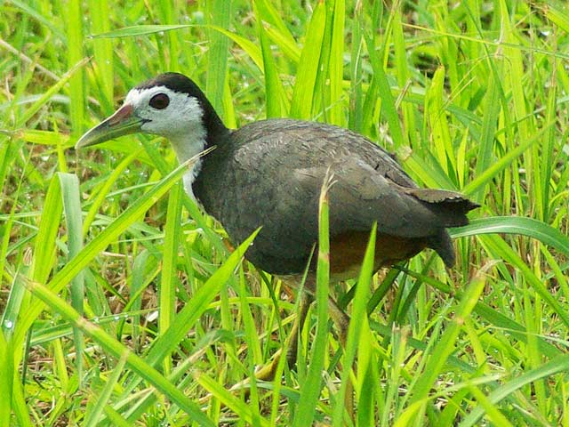 シロハラクイナ(White-breasted Waterhen)